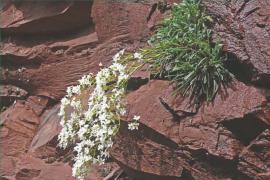Saxifrage à feuilles en languettes - © J.-L. Cossa / RNR Gorges de Daluis