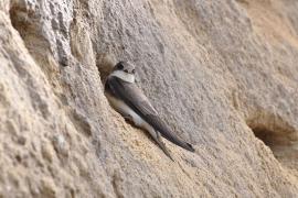Hirondelle de rivage - © Aiwok / Wikipedia