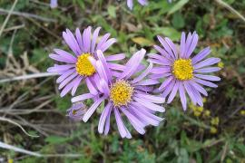 Aster amelle - © S. Lefnaer / Wikipedia