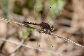 Leucorrhine à gros thorax - © P.-M. Aubertel
