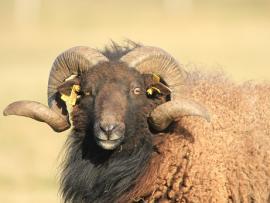 Mouton d'Ouessant - © G.Cochard