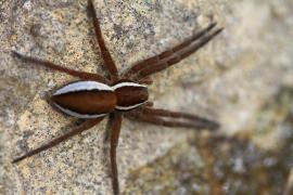 Araignée Pisaure - © H. Bousson