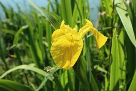 Iris faux-acore - © L. Allorge / Commons