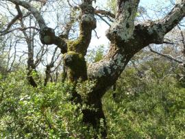 Vieux chêne pubescent - © J.-H. Leprince