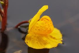 Fleur d'utriculaire vulgaire - © Patchy / Commons