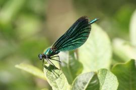 Calopteryx vierge - © P.-M. Aubertel
