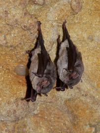 Minioptère de Schreibers - © RNR Grotte des Sadoux